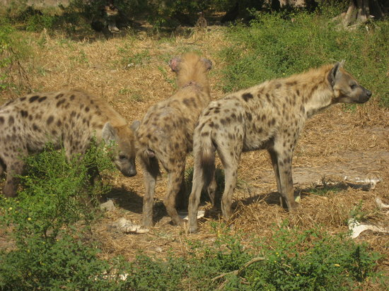 Gambia: hyenas - these are much bigger than you think... and smell!!