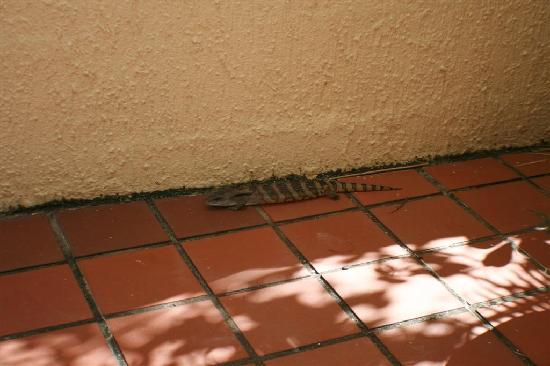 Sundeck Gardens : Blue Tongue Lizard in courtyard