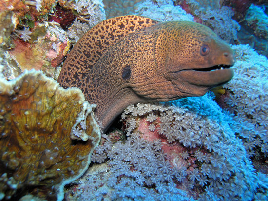 Yap, Mikronesiens Forenede Stater: Friendly Moray Eel Pose