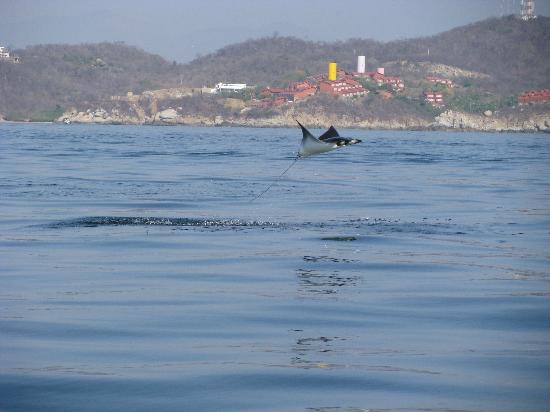 Barcelo Huatulco: saw many rays like this jumping