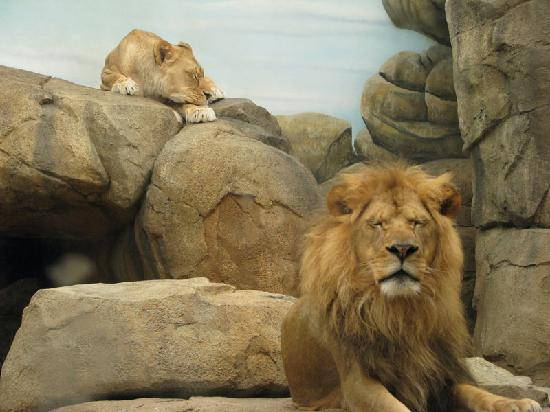 Milwaukee County Zoo: Napping lions