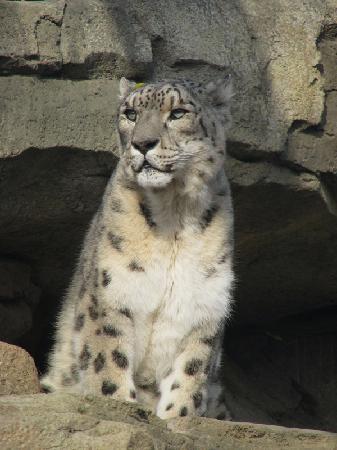 Milwaukee County Zoo: Snow Leopard