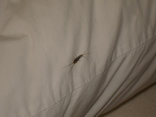 BEST WESTERN Executive Suites - Columbus East: Bug on pillow