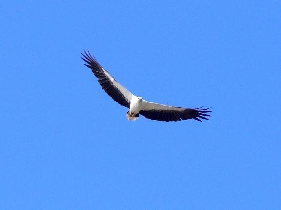 Nikoi Island: Sea Eagle