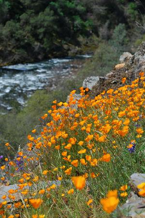 Yosemite Cedar Lodge: Poppies...