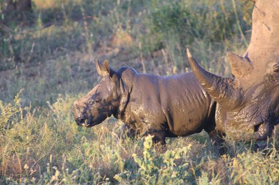 Thornybush Private Game Reserve, Sudáfrica: A baby Rhino with mum
