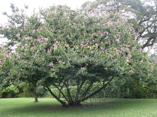 Royal Botanical Gardens: Entire orchid tree in bloom at Botanical Gardens