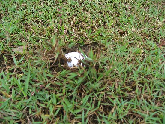 Hornbill Golf and Jungle Club Course : Try looking for your golf ball on the fairway