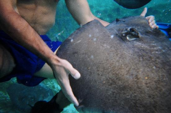 Reef Adventures Belize: Sting Ray