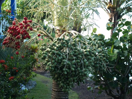 Bel Air Plantation Resort: Seeds on tree