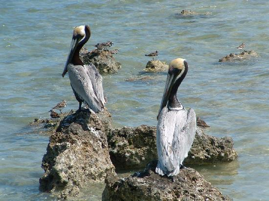 Chesapeake Beach Resort: Pelicans a few feet from shore
