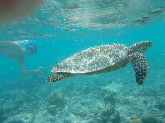 Baros Maldives: tortuga