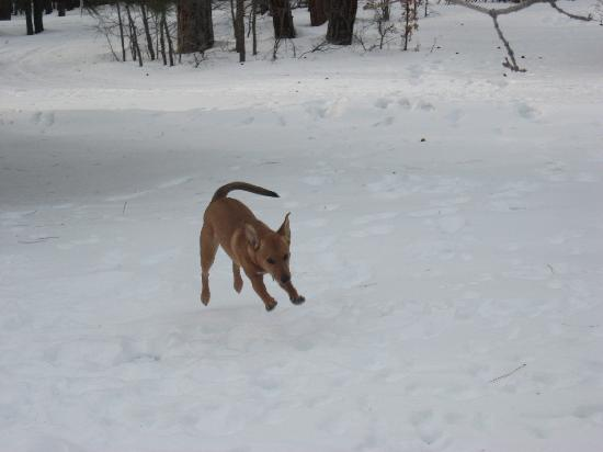 Mormon Lake Lodge and Campground: one of my dogs enjoying the snow