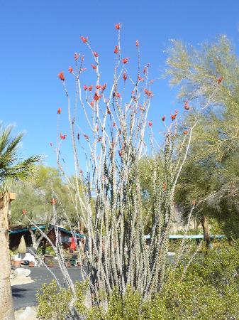 Boynton's - Hacienda del Sol: Flowering cactus