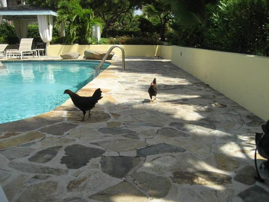 Virgin Gorda Village: Chickens on premises