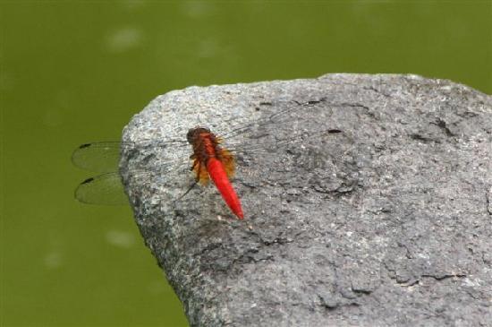 Sabah, Malaysia: red dragon fly
