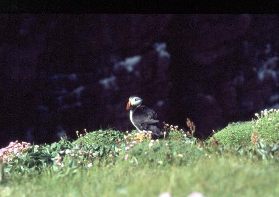 Scourie, UK: Handa Island - puffin