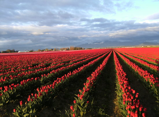 La Conner, WA: Tulip fields near LaConner WA -Skagit Valley Tulip Festival