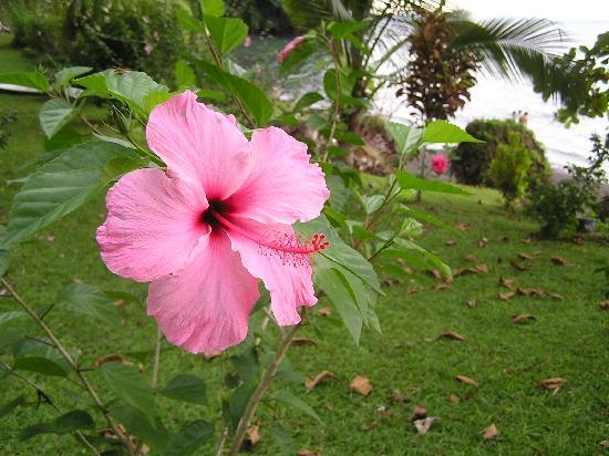 "Puerto Jiménez, Costa Rica: ""Amapola"" flower"