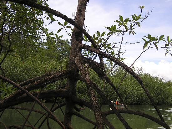 Aventuras Tropicales Golfo Dulce: mangrove
