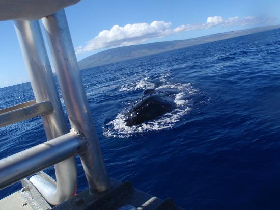 Captain Steve's Rafting: whale spy hopping