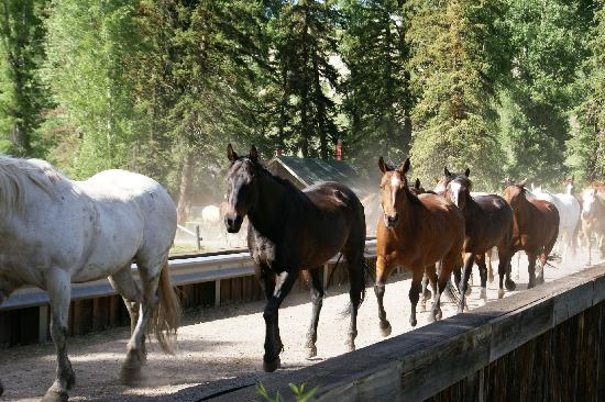 Spotted Horse Ranch: Horses on the bridge over the Hoback River
