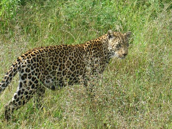 Sabi Sabi Bush Lodge: leopard