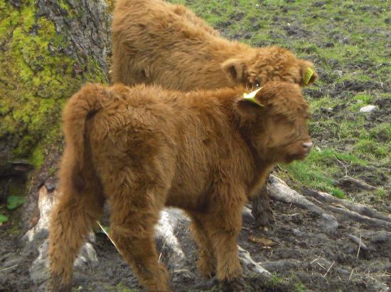 "Torridon, UK: two new calves, the hotel ""pets"""
