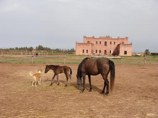 Tameslouht, Maroc : Les chevaux dans la paisible ferme équestre