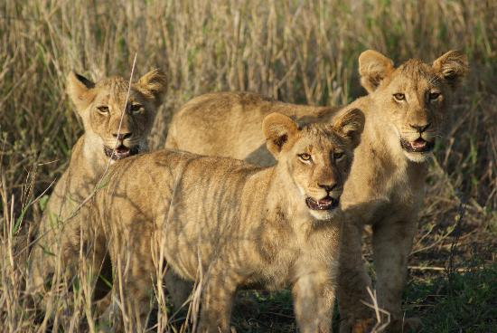 Amakhosi Safari Lodge: Three Lions