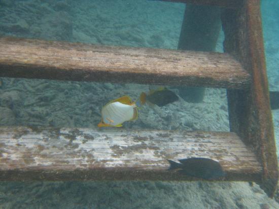 ธัลฮากีรี ไอส์แลนด์ รีสอร์ท แอนด์ สปา มัลดีฟส์: Beautiful Yellow-head Butterflyfish