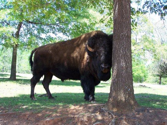 Τζάκσονβιλ, Τέξας: Buffalo