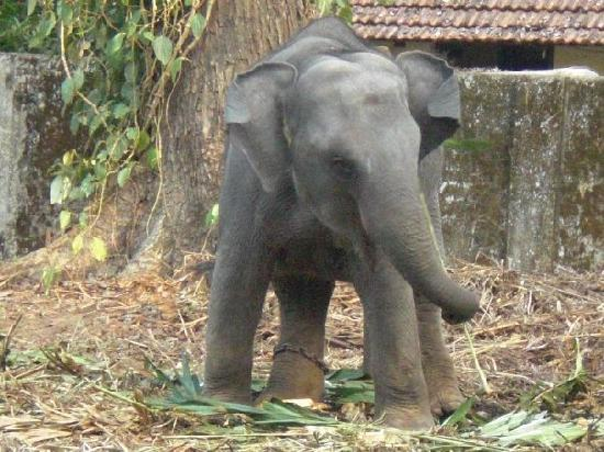Ponmala Homes Bed & Breakfast : Baby Elephant near Ponmala Homes