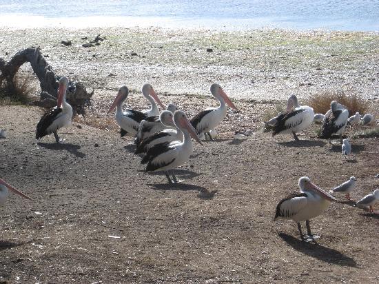 Mercure Kangaroo Island Lodge: Feeding of the pelicans