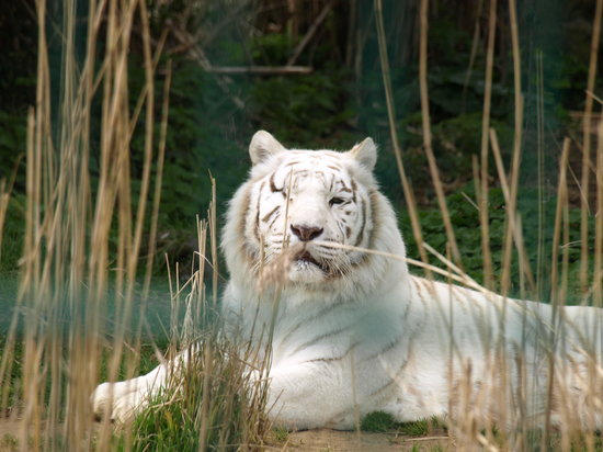 Sandown, UK: zena the one eyed white tigress