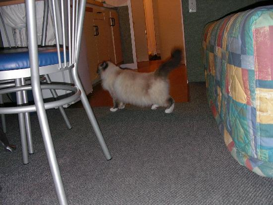 Panorama Motel: Zeela the Birman cat in our unit