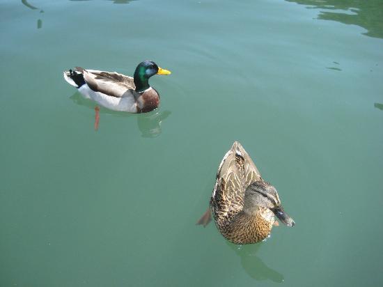 Ferndale Resort & Marina: Friendly ducks