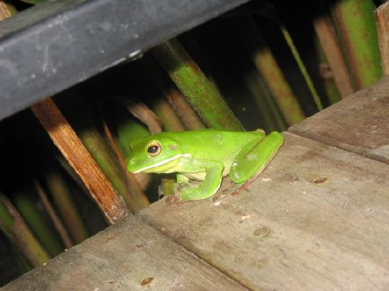 Port Douglas Cottage & Lodge: Hoppy the tree frog