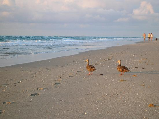 Delray South Shore Club: some ducks on the beach
