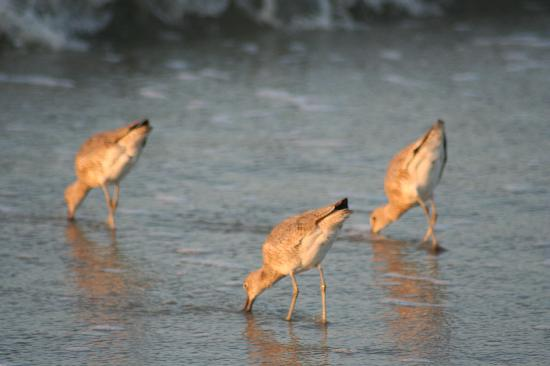 Coligny Beach: Sandpipers on the beach!