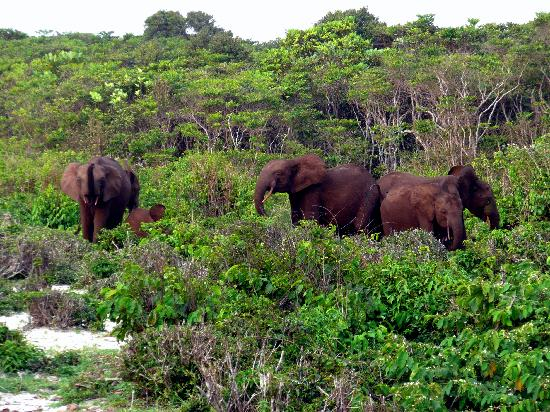 Forest elephants in Loango National Park, Gabon
