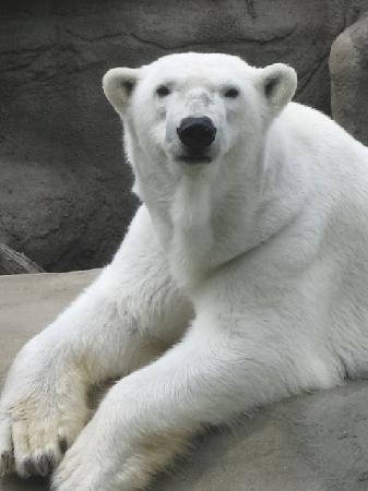 Cleveland Metroparks Zoo: Polar Bear