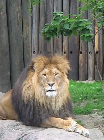 Cleveland Metroparks Zoo: Lion