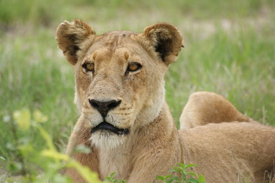 Moremi Game Reserve, Botswana: female lion waiting - Moremi Park