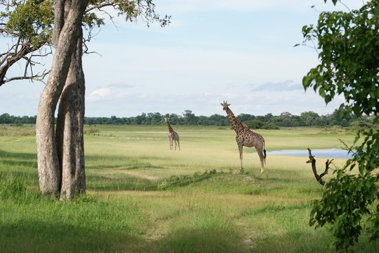 Reserva Natural de Moremi, Botsuana: girafes in front of our tent - Moremi Park