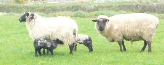 Kilmurray House: lambs feeding