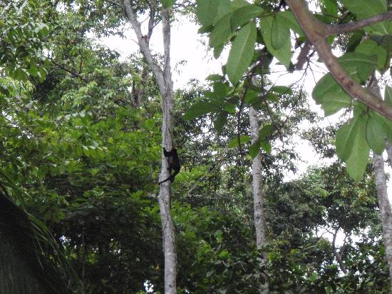 Congo Bongo Boutique Guest Houses: Howler monkey in the trees