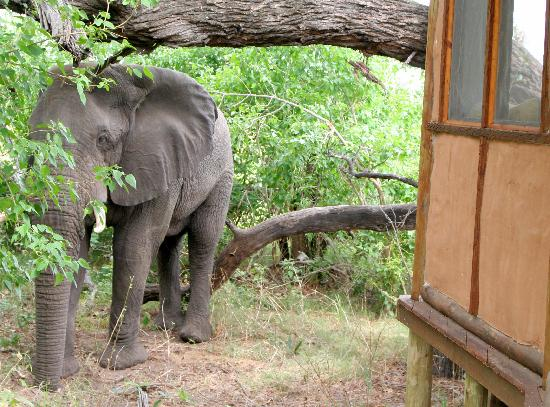 Sanctuary Baines' Camp: Elephant outside our room