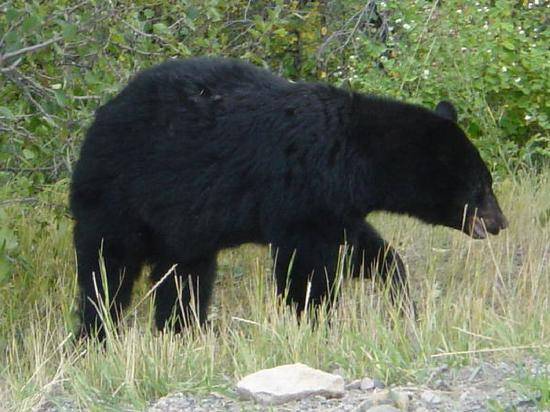 BLACK BEAR SEEN A FEW MILES FROM LAC LE JEUNE RESORT