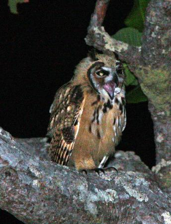 El Sol Verde Lodge & Campground: Night visitor - screech owl